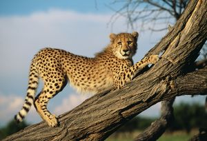 CHEETAH - young stretches on tree trunk