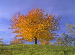 Cherry tree - with brightly yellow coloured autumn foliage
