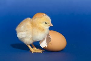 Chick with an egg shell