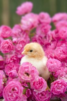 Chick - amongst Pink Roses