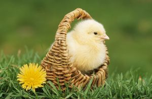CHICKEN - Chick in basket