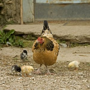 Chicken - with chicks in farmyard
