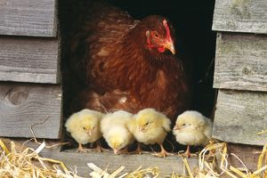 CHICKEN - Hen with row of four chicks