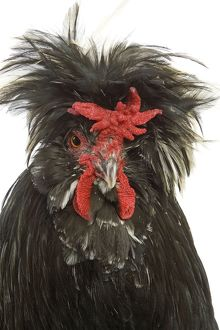 Chicken - Houdan breed - in studio