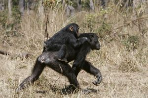 Chimpanzee - adult giving piggy-back to young.