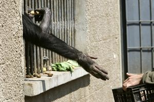 Chimpanzee - arm reaching through cage bars for food