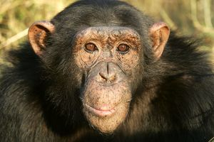 Chimpanzee - close-up of face.