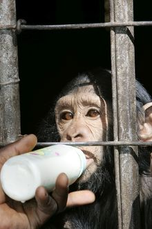 Chimpanzee - being fed milk from a bottle though cage bars