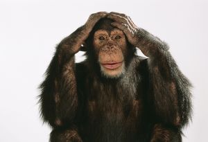Chimpanzee - hands over ears 'Hear No Evil'