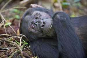 Chimpanzee - male - tropical forest