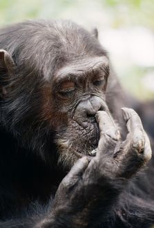 "Chimpanzee - picking nose, ""Gigi"" female 39 yrs."