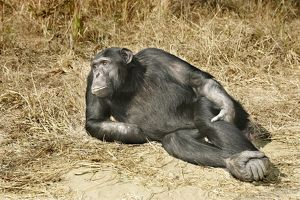 Chimpanzee - relaxing
