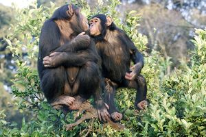 Chimpanzee - two in tree.