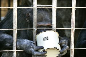Chimpanzees - eating food in bucket through cage bars