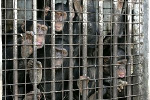 Chimpanzees - looking through bars of cage