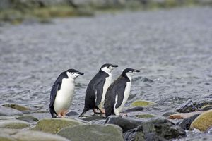 Chinstrap Penguin - Adults and full grown chick by shore