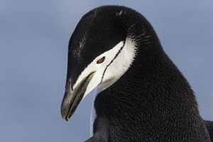 Chinstrap Penguin - close-up
