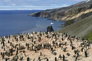 Chinstrap Penguin - colony