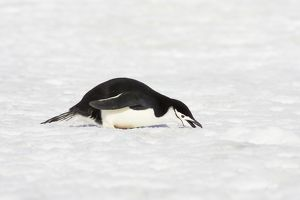Chinstrap Penguin - eating snow