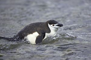 Chinstrap Penguin - Emerging from sea