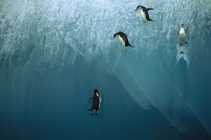 Chinstrap Penguin - jumping off blue iceberg