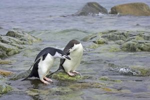 Chinstrap Penguin - Pair by sea
