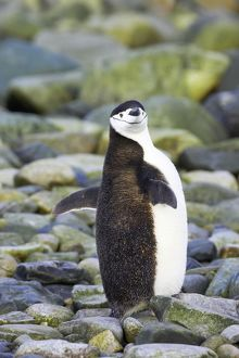 Chinstrap Penguin - Stretching Wings