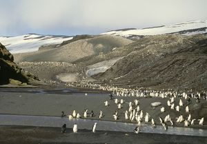 Chinstrap Penguin - view of rookery