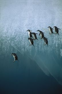 CHINSTRAP PENGUINS - jumping off blue ice