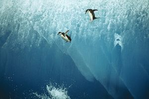 Chinstrap Penguins - jumping off blue iceberg