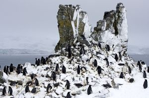 Chinstrap Penquin - On Half Moon Island breeding grounds with fresh snow fall