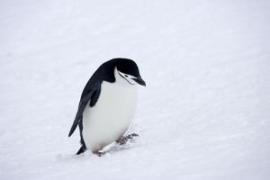 Chinstrap Penquin - Walking in fresh snow on Half Moon Island
