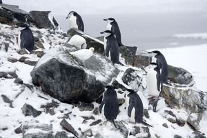 Chinstrap Penquins - On Half Moon Island just arrived on breeding grounds with a Snowy Sheathbill