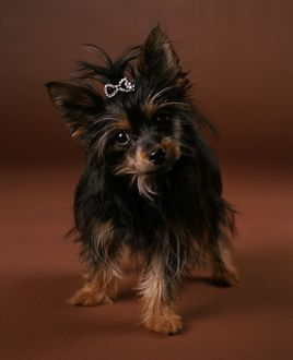 Chorkie Dog - crossbreed between Yorkshire Terrier and a Chihuahua