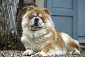 Chow Chow Dog - lying down
