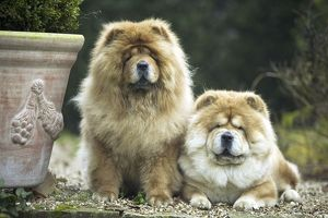 Chow Chow Dogs - two sitting together