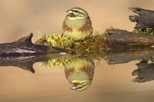 Cirl Bunting - adult male at drinking pool