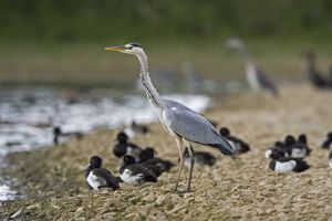 CK-4532 Grey Heron - standing on stone bank with Tufty Duck in background