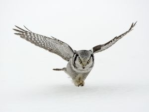 CK-4568 Hawk Owl - in flight over snow