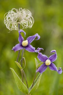 Clematis integrifolia in flower and fruit
