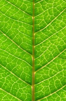 Close up of Leaf, showing veins
