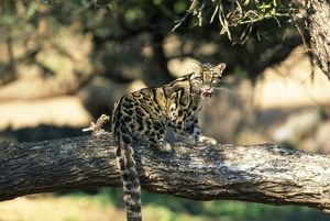Clouded Leopard - on tree licking lips
