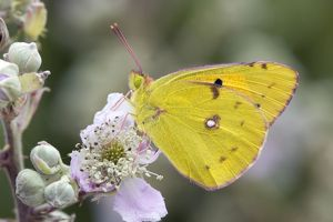 Clouded Yellow Butterfly - on bramble
