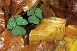 Clover in autumn leaf's