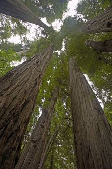Coastal Redwood forest - view of trunks to canopy.
