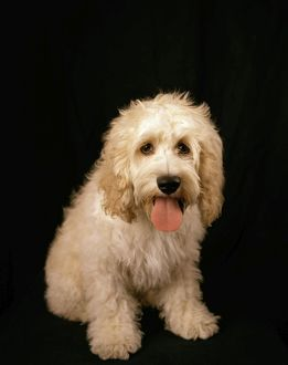 Cockapoo Dog - cross between a Cocker Spaniel & a Poodle
