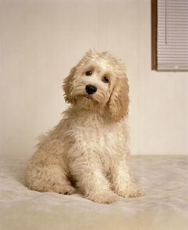 <b>Cockapoo</b><br>Selection of 10 items