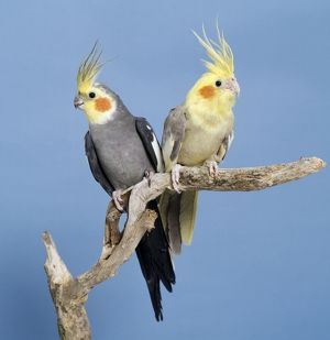 Cockatiel Birds - Two perched on branch