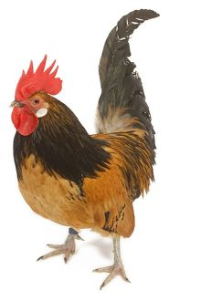 Cockerel - breed - Bassette liegeoise - in studio