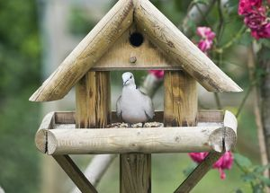 Collared Dove - on bird table in garden